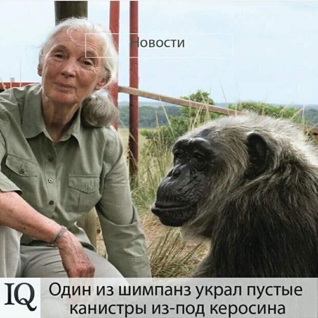 Какой умный шимпанз!