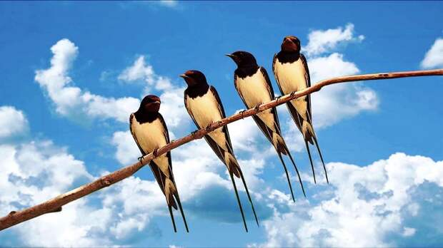 Где зимуют ласточки - интересные факты о жизни птиц