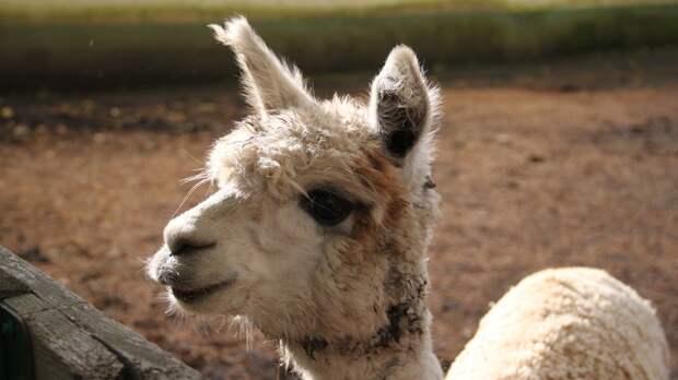 Антитела альпака могут использовать для создания лекарства от коронавируса