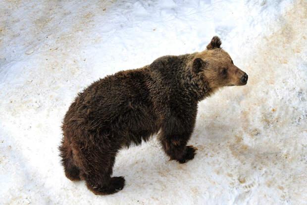 Гулявшего по улицам Нижневартовска медведя поймали