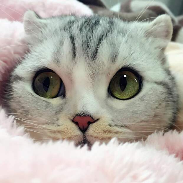 Хана — обворожительная кошка с огромными глазами, которая покорила Сеть