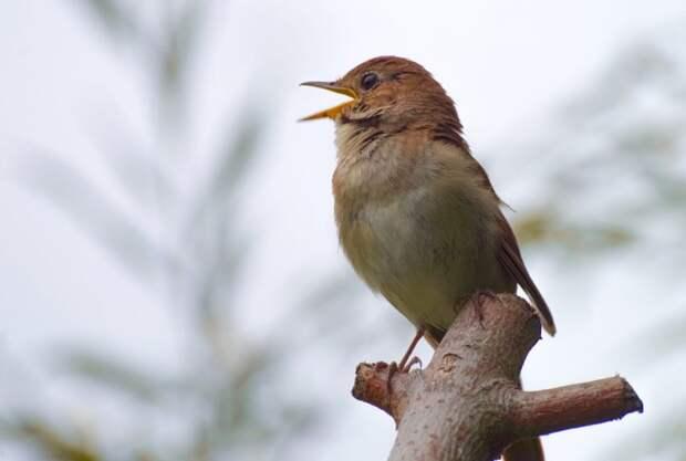 Пернатый певец прилетел в Чапаевский парк Фото с сайта pixabay.com
