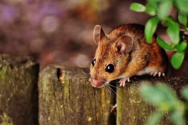 112 жителей Удмуртии заболели мышиной лихорадкой с начала года