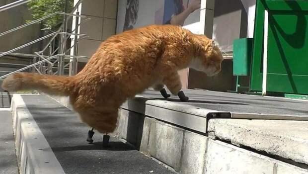 4 милых фото кота Рыжика, который ходит на лапках-протезах