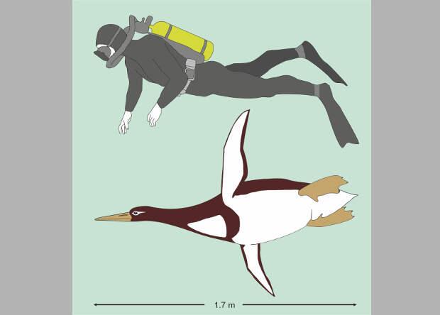 В Новой Зеландии обнаружили ископаемого пингвина-великана
