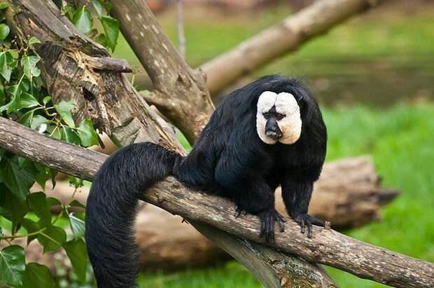 Бледный саки — вид приматов, активные обитатели деревьев, которые...    Интересный контент в группе В мире животные