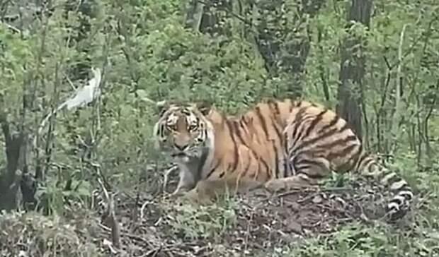 Тигрик-мяу: водитель лесовоза запечатлел свою встречу средким хищником вПриморье
