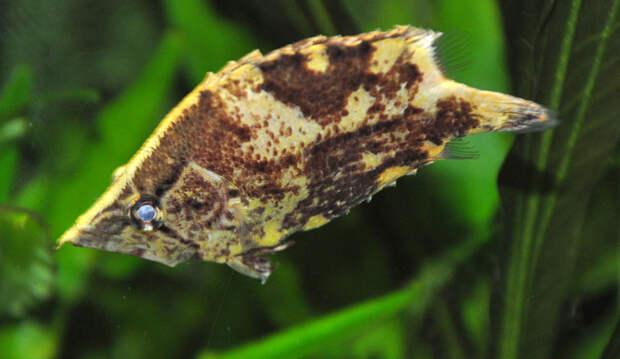 Животные Южной Америки: рыба-лист