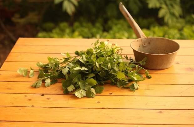Кинза: зелень полезнее петрушки и укропа