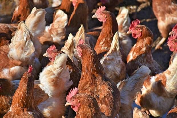 Российские производители мяса птицы и яиц условились не повышать цены