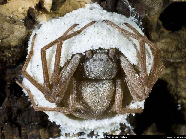 Шестиглазый песочный паук: Может кушать 1 раз в полгода, а токсин растворяет жертву за минуту