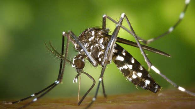 Опасные тигровые комары обнаружены у берегов Черного моря