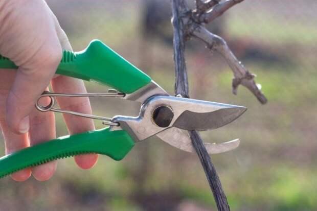 обрезка винограда, Как правильно пересадить взрослый куст