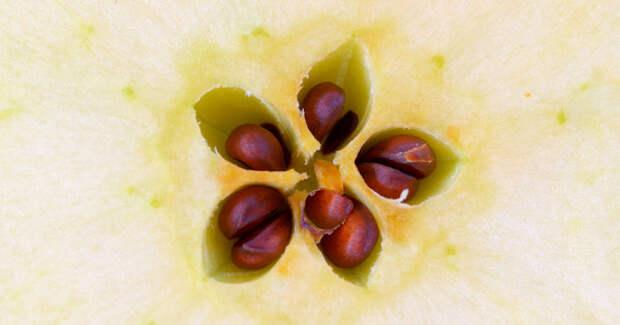 Вкосточках яблок содержится яд: таклиэто