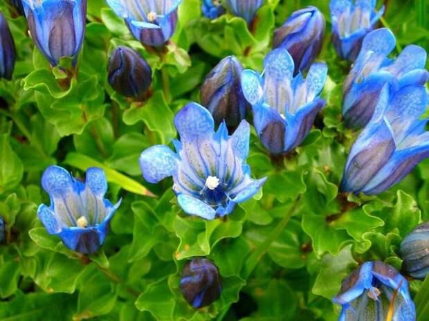 Цветы горечавки имеют форму колокольчиков