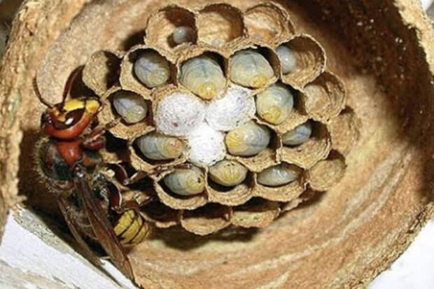 Шершень за 3 дня построил себе гнездо
