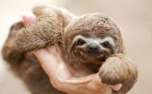 Вопрос на засыпку: почему ленивцы не умирают от лени?