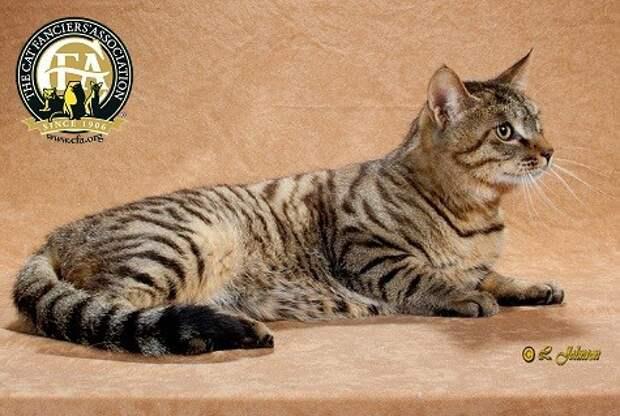 Самая редкая порода кошек в мире - Дракон Ли (другое название - Китайская Ли Хуа). домашние животные, кошки, породы кошек, самые редкие