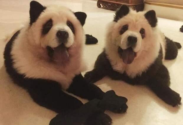 Мода на переделку собачек в «панд» возвращается