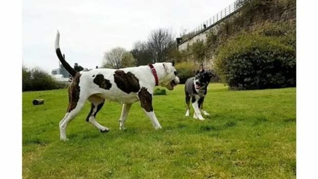 Бульдог из приюта стал поводырем для слепого щенка. Теперь они лучшие друзья