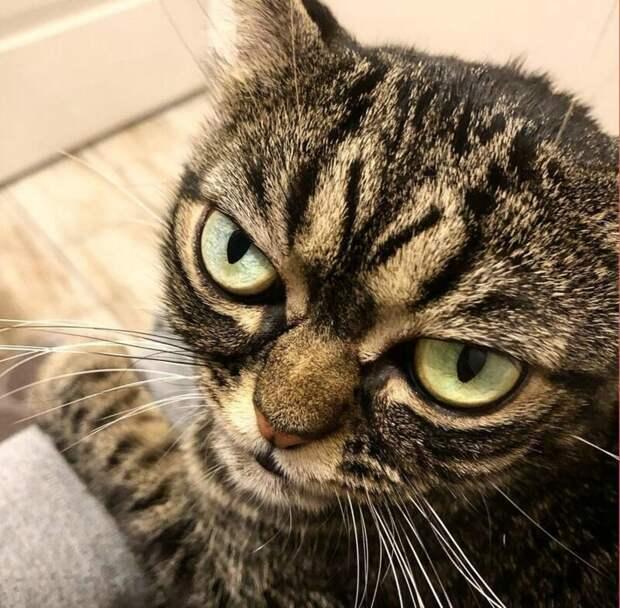 Грампи (Grumpy) grumpy cat, животные, коты, кошка, кошки, мем, сердитая кошка, фото