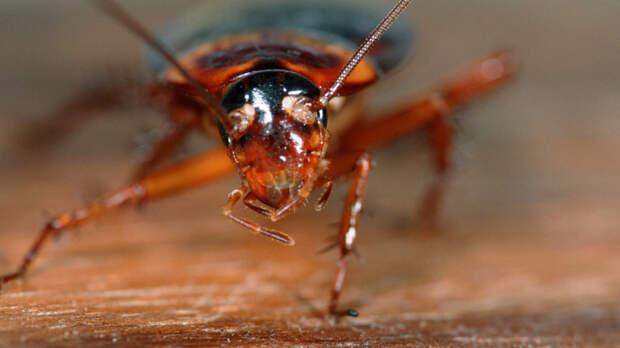Они вернулись и нагло лезут во все щели: Почему полчища рыжих тараканов снова атакуют наши дома