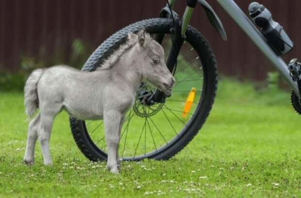 В Ленинградской области родился самый крошечный конь в мире