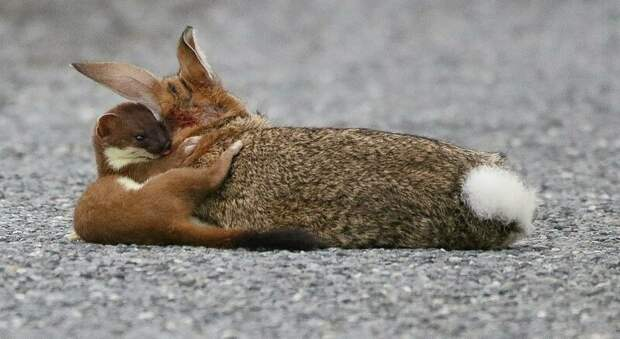 Кровожадный горностай завалил кролика, большего его в четыре раза горностай, добыча, животные, кролик, охота, фото