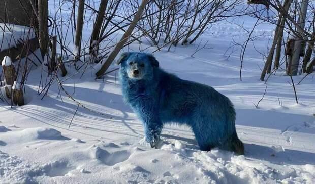 ВНижегородской области обнаружена стая голубых собак