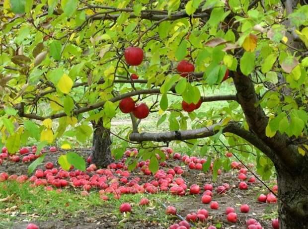 Яблоки смягчают боль при мигрени аромат, здоровье, настроение, растения