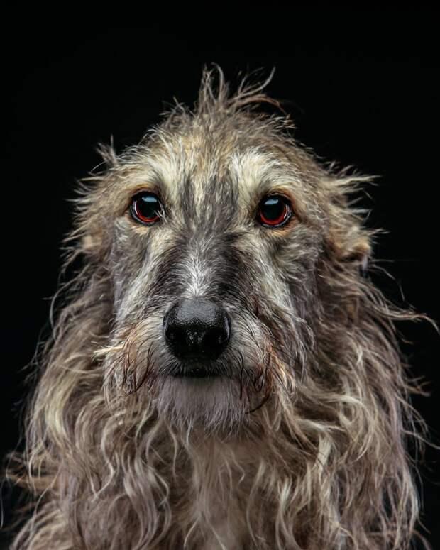 6. Порода, борзая, гальго, животные, испания, собака, спасение, фотография
