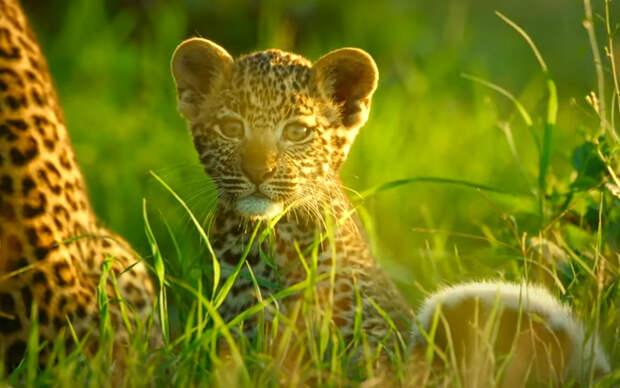 Буйвол спасает маленьких леопардов от гиены: видео