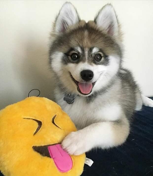 Удивительный пёс Норман, который не то хаски, не то шпиц…)) Или это игрушка?! :)