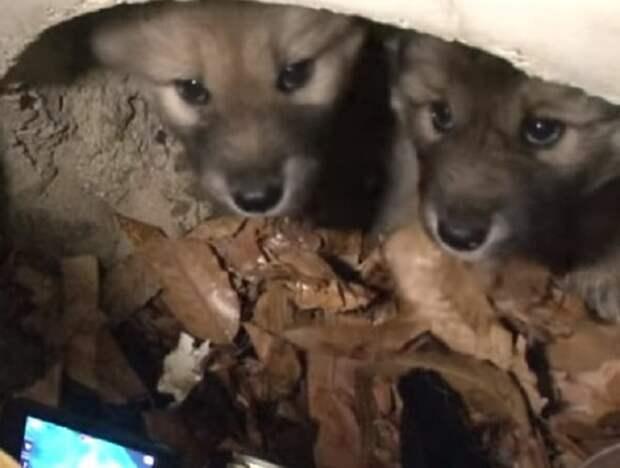 В трубе «плакали» два щенка, а где-то поблизости отчаянно лаяла собака