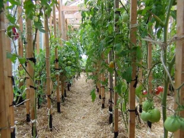 помидоры в соломе