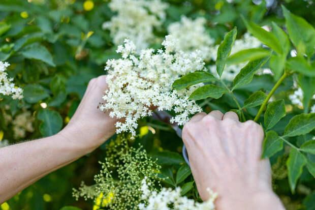 Соцветия бузины можно запекать в тесте