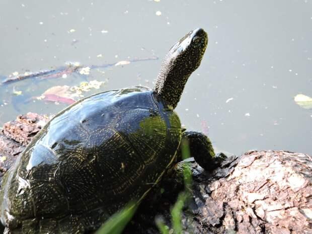 Красноухие черепахи прогнали болотных на Щучий пруд