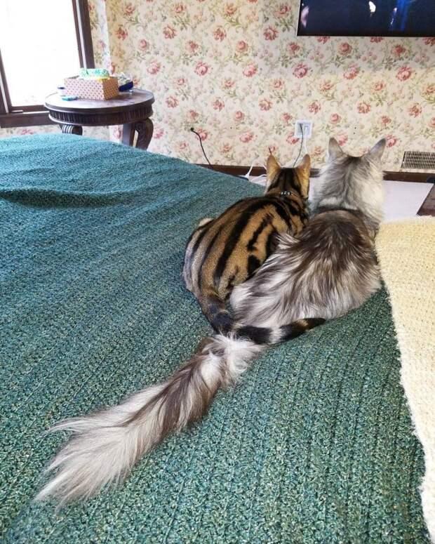 У этого кота самый длинный хвост в мире