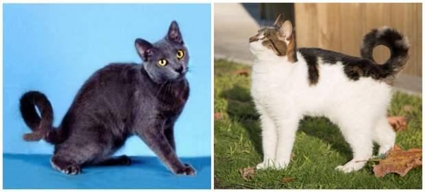 американский рингтейл (кольцехвостая кошка)