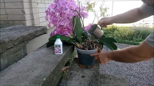 Полив орхидей для буйного цветения: несколько важных хитростей