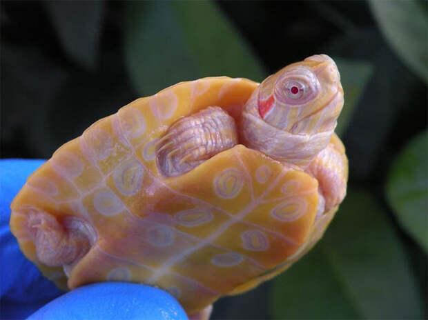 Оказывается, черепахи-альбиносы не белые, а оранжевые. Вот 6 крутых фото