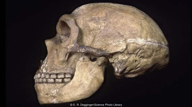 Череп неандертальца. Всем бы такие зубки!