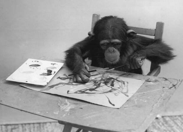 Шимпанзе-художник за работой. | Фото: gagdaily.com.