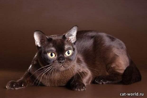 9 место. Европейская бурманская кошка. домашние животные, кошки, породы кошек, самые редкие