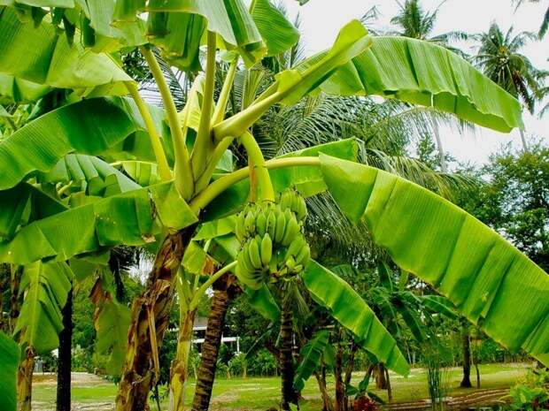 Самые необычные бананы мира