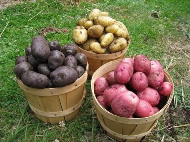 «Некопаевская картоха»! (15 фото)