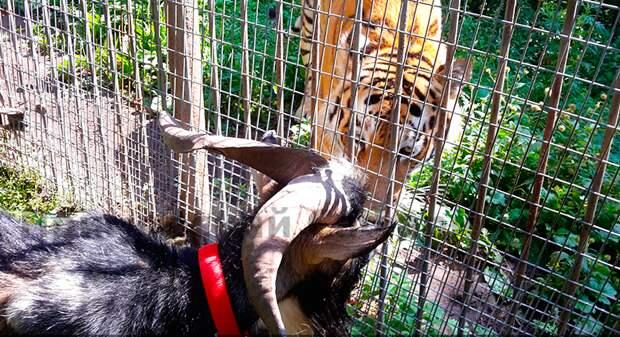 Что стало с тигром Амуром и козлом Тимуром через пять лет после нашумевшей истории