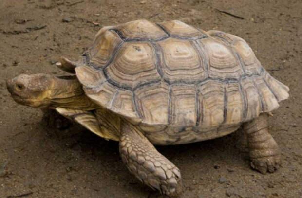 Почему опасно заводить черепаху