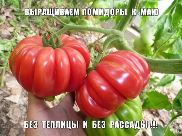 Как вырастить помидоры к маю без теплицы и без рассады