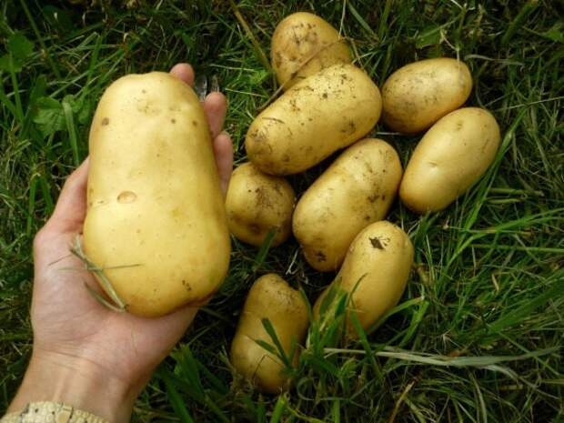 картошка в соломе